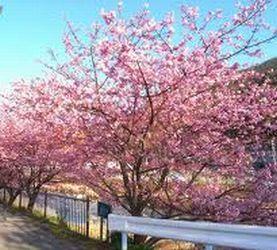 河津桜まつり1.jpg
